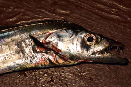 Japanese Scabbard fish Stock Photo - 87244415