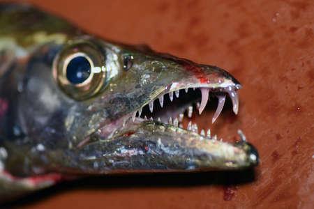 Japanese Scabbard fish