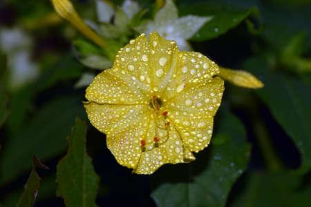Marvel of Peru four oclock flower Stock Photo
