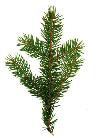small group of objects: Pine branch isolated on white Stock Photo