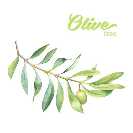 olive illustration: Green watercolor olive branch on white background