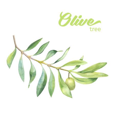 Verde rama de olivo de la acuarela en el fondo blanco Foto de archivo - 43236158
