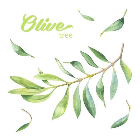 foglie ulivo: Ramo verde oliva acquerello su sfondo bianco Vettoriali