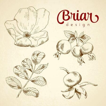 Conjunto de la flor de brezo boceto, bayas y hojas. ilustración vectorial para su diseño