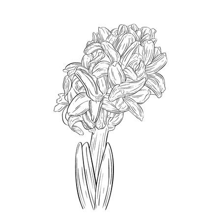 Hyacinth ink sketch. Plant in blossom. Vector illustration for your design