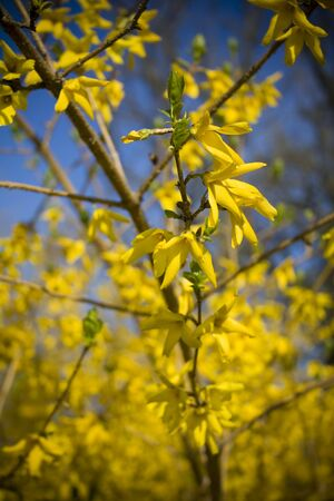 Yellow spring flowers Stock fotó