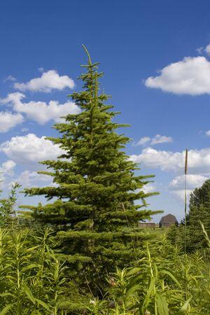 Evergreen tree farm Stock fotó
