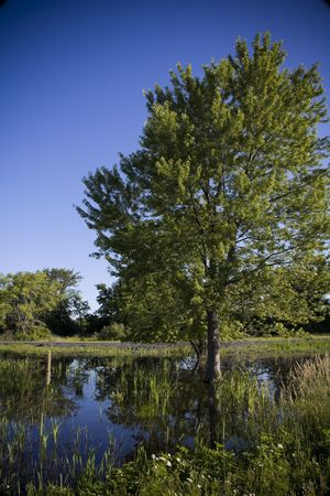 Tree and marsh in conservation area