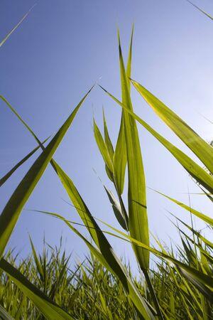 Tall Grass Backlit by Sun