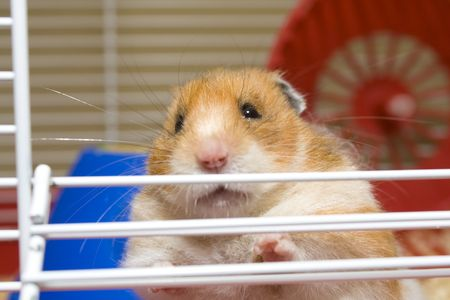 Close up of hamster trying to escape from cage photo