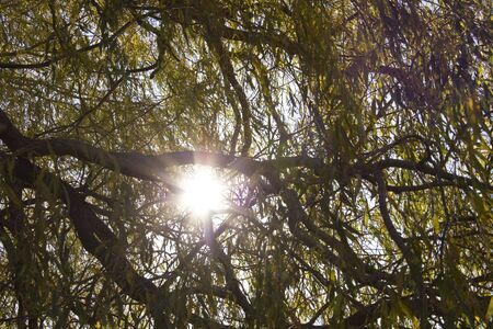 Sun shining through willow branches photo