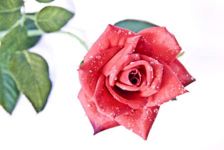 signifies: Eine Rose bedeutet manchmal mehr als viele worte. Und bricht in manchen menschen ein gef�hlschoas aus. A rose sometimes signifies more than many worte. And if a Gef�hlschoas breaks out in some person. Stock Photo