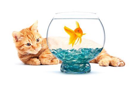 gato jugando: Gato jugando con Carassius auratus aislados sobre fondo blanco Foto de archivo