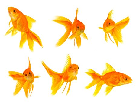 gold fish bowl: Three goldfishes isolated on a white background Stock Photo