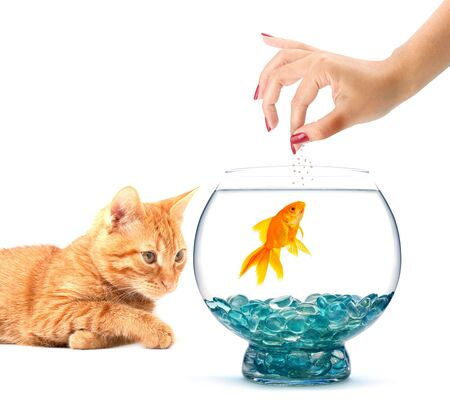 Gold fish in an aquarium on a white background Stock Photo - 5900443