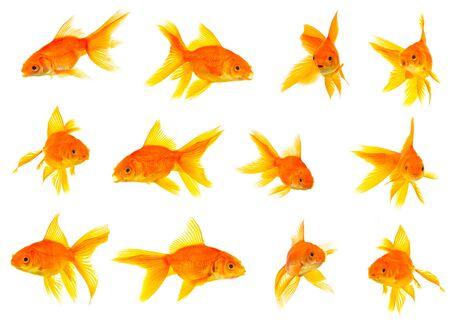 escamas de peces: Conjunto de goldfishes aislado en un fondo blanco Foto de archivo