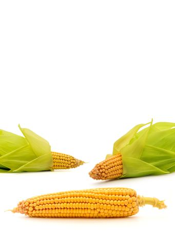 shucked:  Corn on the cob isolated on white