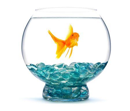 peces de colores: Oro pescado en acuario sobre un fondo blanco  Foto de archivo