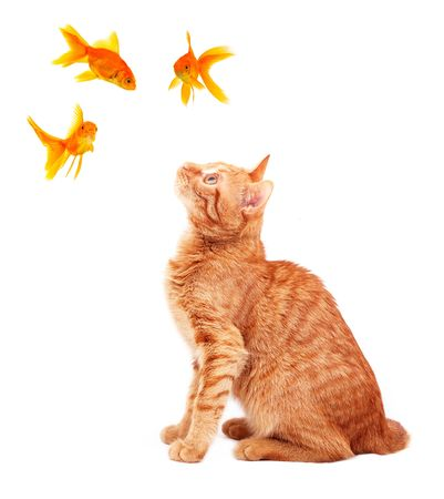 Cat playing with goldfishes isolated on white background