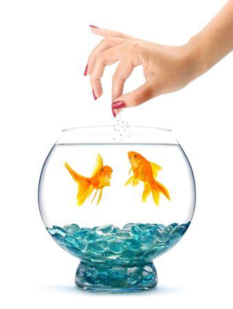 Goldfish en aquarium isolé sur un fond blanc