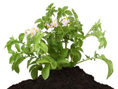 pflanze wurzel: Die Kartoffel mit Bl�ttern, die isoliert auf wei�em Hintergrund  Lizenzfreie Bilder