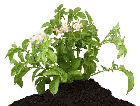 vegetable plant: The potato with leaves isolated on a white background