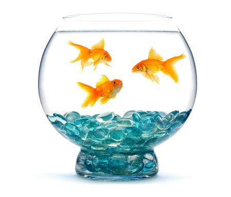 Gold fish in aquarium on a white background photo