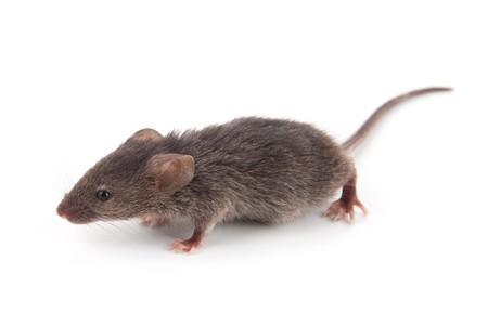 myszy: Małe myszy samodzielnie na białym tle
