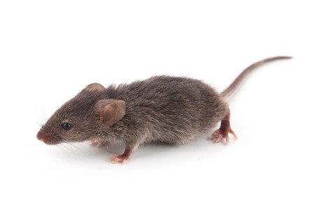 Small mouse isolated on a white background Stock Photo - 8029152