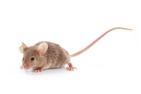 Small mouse isolated on a white background Stock Photo