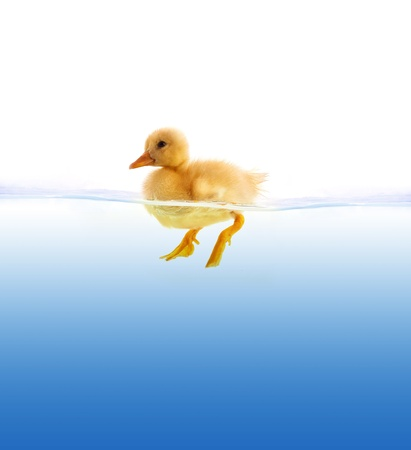swimming bird: The yellow duckling swimming isolated on a white background