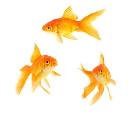 peces de acuario: Peces de oro aislado en un fondo blanco