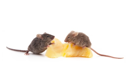 Mouse and cheese isolated on a white background Stock Photo - 9235982