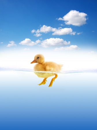 The yellow duckling swimming isolated on a white background  photo