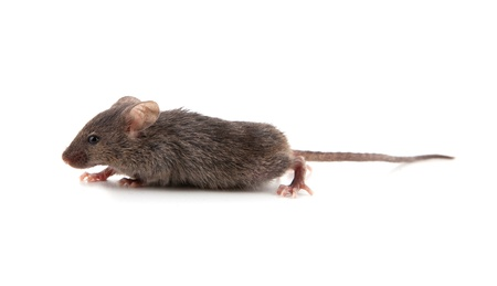 Small mouse isolated on a white background Stock Photo - 9370810