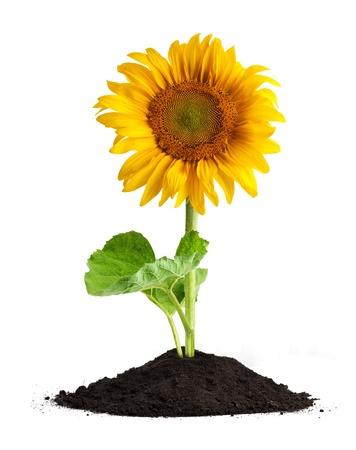 sunflower isolated: Il bel girasole isolato su uno sfondo bianco