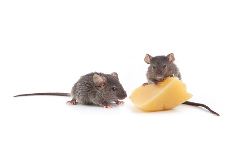 mouse animal: Mouse and cheese isolated on a white background