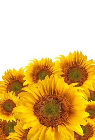The beautiful sunflower isolated on a white background photo