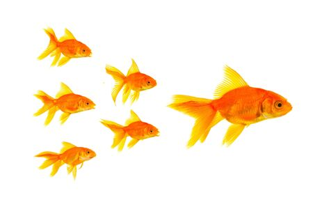 Three goldfishes isolated on a white background photo