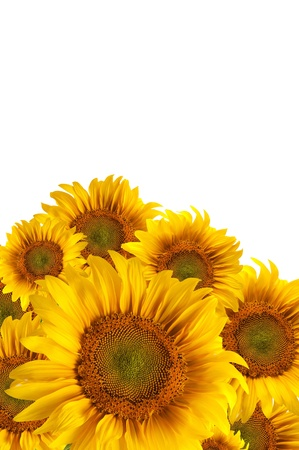 The beautiful sunflower isolated on a white background Stock Photo - 10677839
