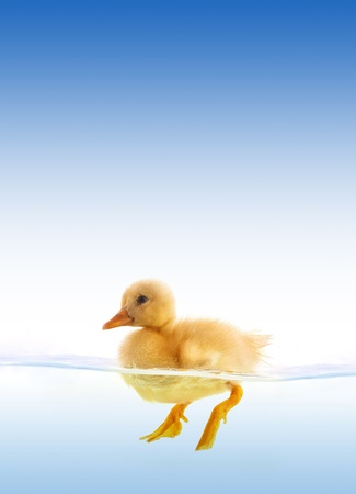 yellow duckling: The yellow duckling swimming isolated on a white background
