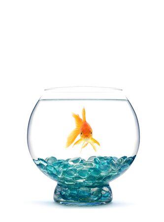 peces de acuario: Oro pescado en acuario sobre un fondo blanco Foto de archivo