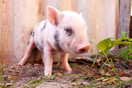 piglet: Close-up of a cute muddy piglet running around outdoors on the farm. Ideal image for organic farming