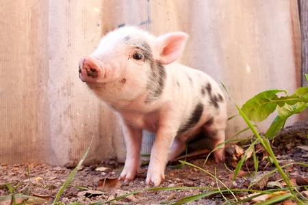 Close-up of a cute muddy piglet running around outdoors on the farm. Ideal image for organic farming photo