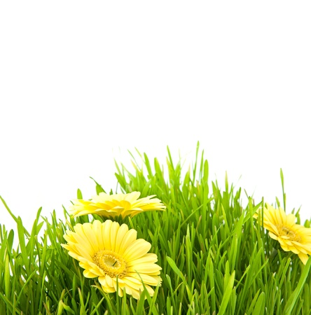 Isolated green grass with yellow flowers on a white background photo