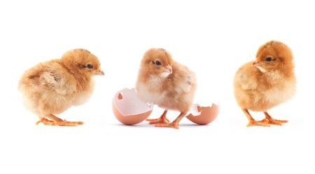 beginnings: The yellow small chick with egg isolated on a white background