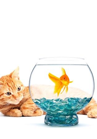 gato jugando: Gato jugando con peces de colores sobre fondo blanco
