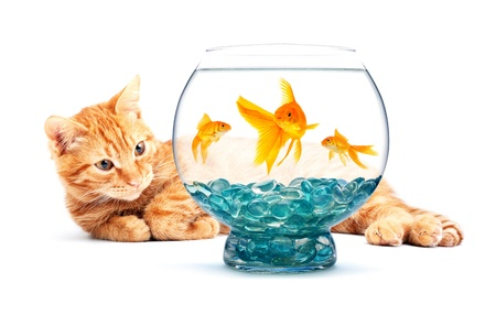 Cat playing with goldfish isolated on white background photo