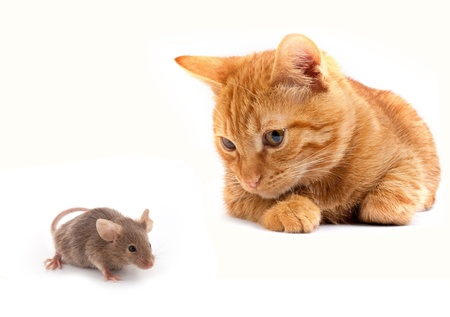 cats playing: Mouse and cat isolated on white background