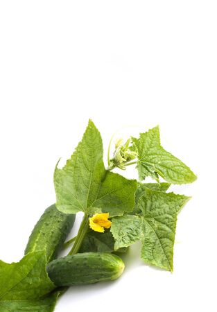 The cucumber white flowers and leaves on a white background photo